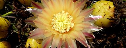 fuerteventura kaktusbluete