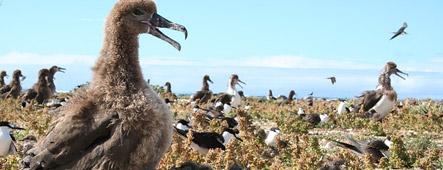 hawaii albatross