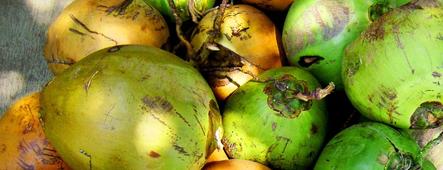 indonesien kokosnuesse
