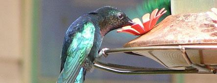 Martinique Kolibri