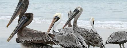 acapulco pelikane