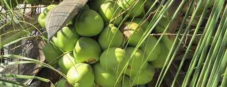 cookinseln kokosnuesse
