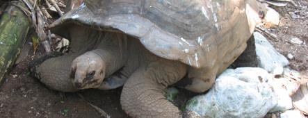 seychellen riesenschildkroete