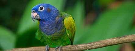 Südamerika Papagei