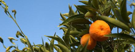 zypern mandarinen