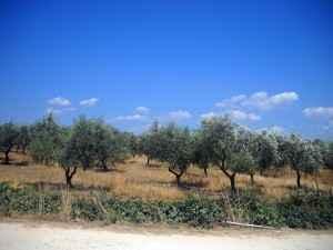 Olivenplantage
