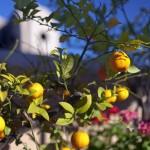 Orangenbaum im Innenhof eines Riads