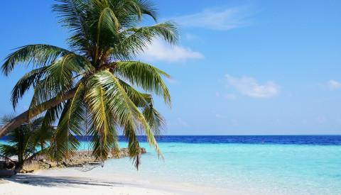 Malediven Palme