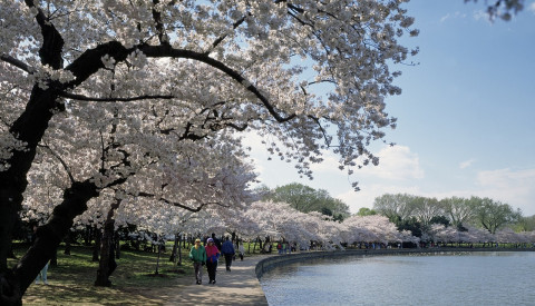 Washington Dc - Cherry Blossom Festival