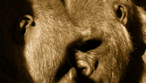 apes-1903026_1920
