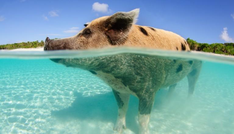 Bahamas Reisen Schweine