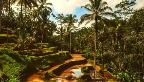 Reisterassen im tropischen Bali