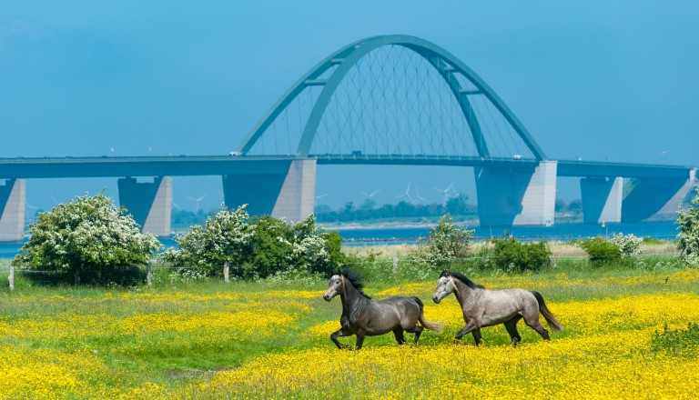Reisen Fehmarn Brücke Pferde