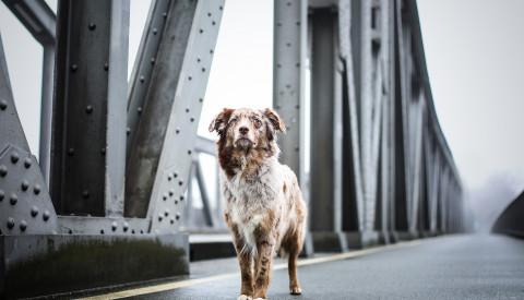 Hund auf Brücke