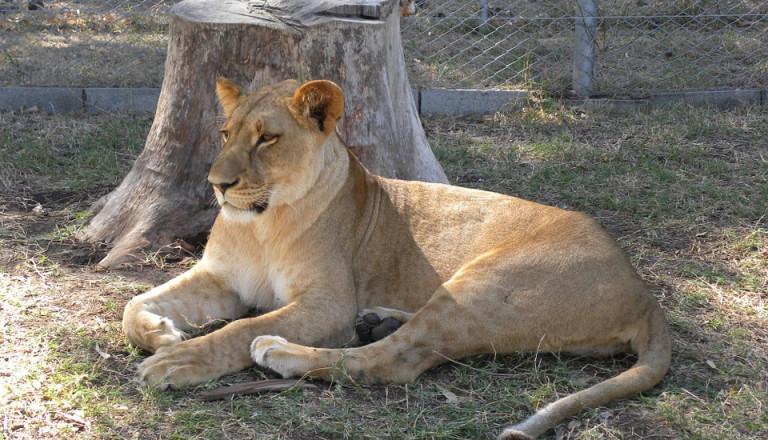 Gassi gehen mit Löwen - Mauritius machts möglich.