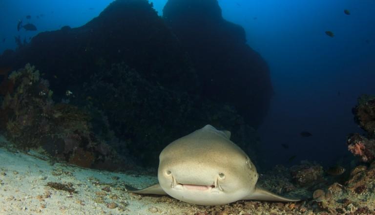 Oman Tauchen Hai