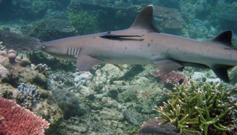 Philippinen Hai Tubbataha