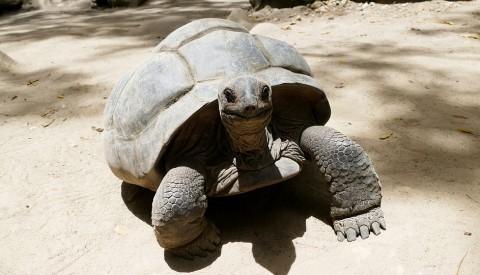 Schildkröte Seychellen
