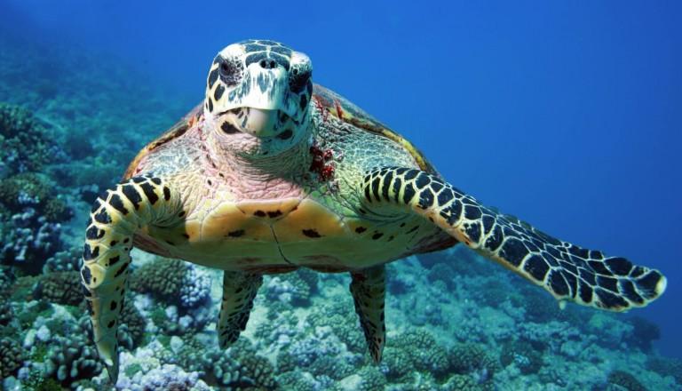 Tauchen Schildkröte