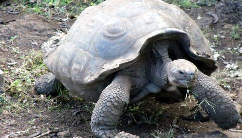 Die Riesenschildkröten auf den Galapagos Inseln werden Ihre Kinder bestimmt nie vergessen!