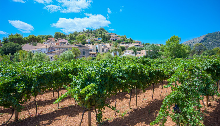 Weinanbau bei Pollenca