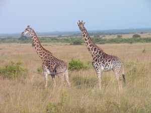 As Friends to Kenya - Afrikas Tiere erleben 2