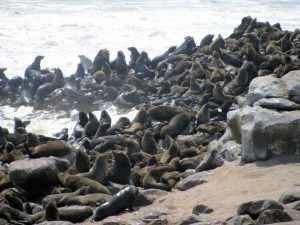 Robbenpopulation an der Skelettküste