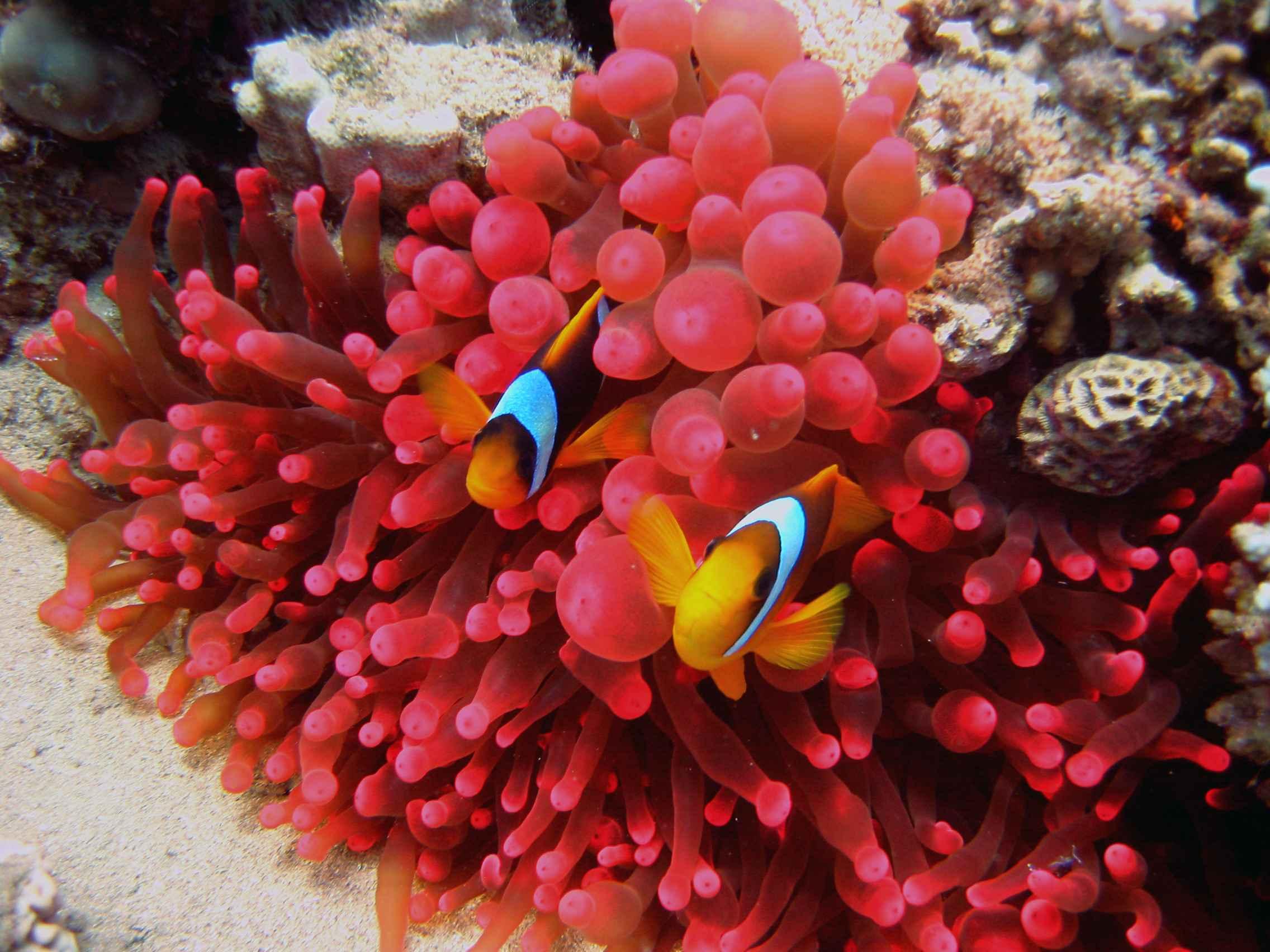 Anemonenfische im Korallenriff