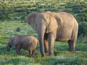 Elefant Addo Elephant Park