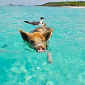 Schwimmendes Schwein, Bahamas