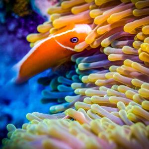 Korallenriff mit Clownfisch