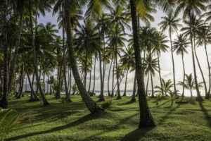 Kokonusspalmen in der Chuuk Lagune