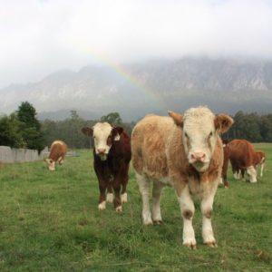 Kühe, Tasmanien, Australien