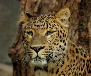 Leopard Südafrika