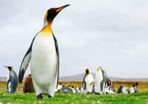 Pinguine, Falklandinseln