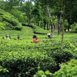 Teeplantage in Bangladesch