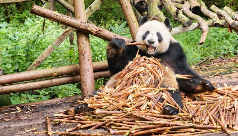 China-Chengdu-Panda