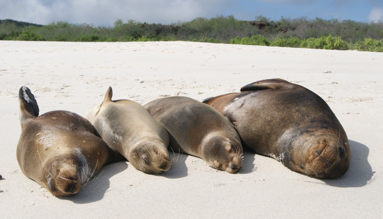 Seehunde relaxen auf der Insel Española, Galapagos