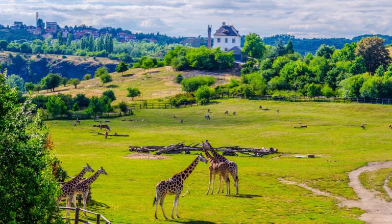 Giraffen im Prager Zoo