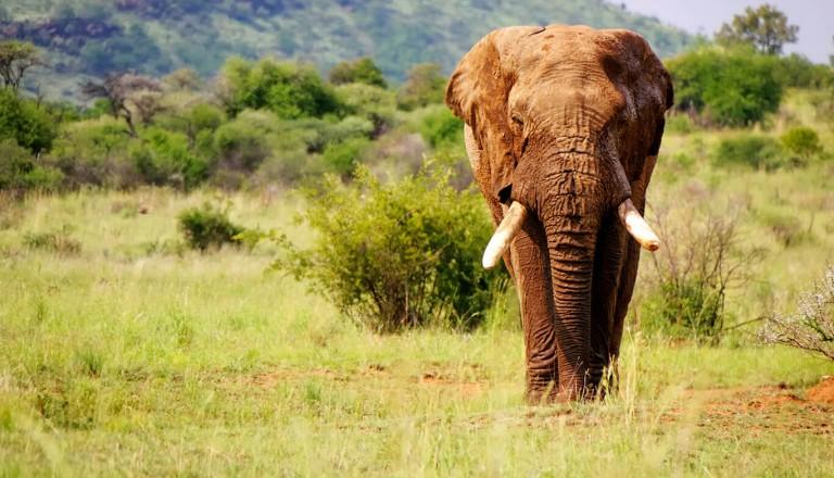 Krueger-Nationalpark - Elephant
