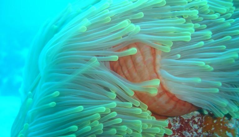 Eine Anemone und noch vieles mehr erwartet den Taucher auf den Seychellen