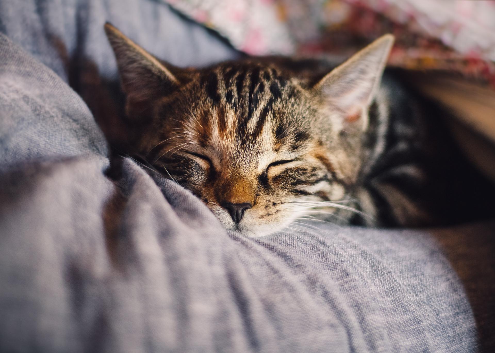 Schlafende junge Katze im Bett